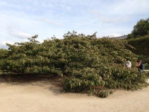 Huge tree Jardin des Plantes