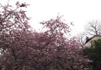 Albert Kahn cherry tree